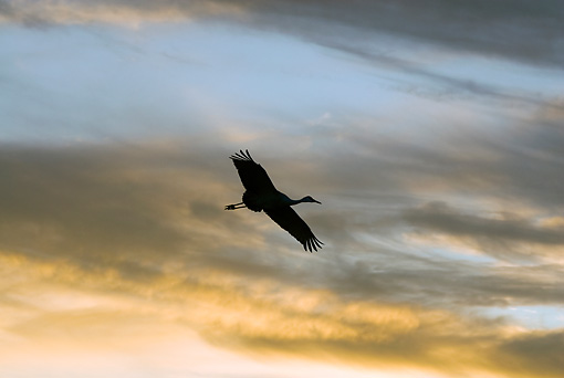 BRD 16 SK0004 01 © Kimball Stock Sandhill Crane Flying At Sunset