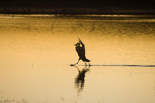 BRD 16 SK0006 01 © Kimball Stock Sandhill Crane Landing In Pond At Sunset