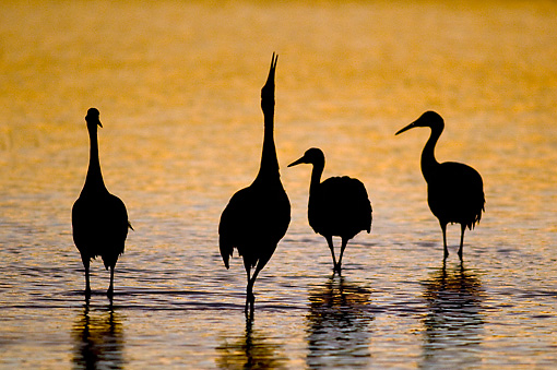 BRD 16 SK0007 01 © Kimball Stock Sandhill Cranes Standing In Pond At Sunset