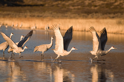 BRD 16 SK0008 01 © Kimball Stock Sandhill Cranes Taking Flight From Pond In Early Morning