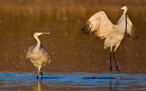 BRD 16 WF0001 01 © Kimball Stock Sandhill Cranes Standing In Shallow Water
