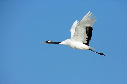 BRD 16 WF0002 01 © Kimball Stock Red-Crowned Crane Flying Against Blue Sky