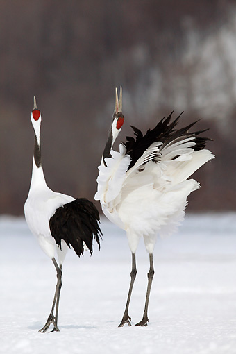 BRD 16 KH0001 01 © Kimball Stock Two Red-Crowned Cranes Standing On Snow Doing Courting Display