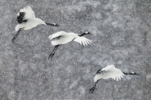 BRD 16 KH0002 01 © Kimball Stock Three Red-Crowned Cranes Flying In Snow