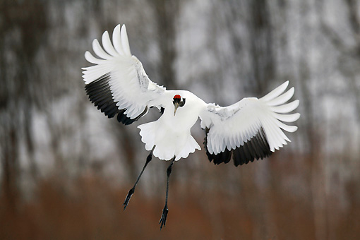 BRD 16 KH0003 01 © Kimball Stock Red-Crowned Crane Flying