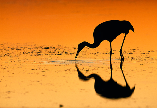 BRD 16 LS0001 01 © Kimball Stock Silhouette Of Sandhill Crane Hunting In Marsh Shallows At Dusk