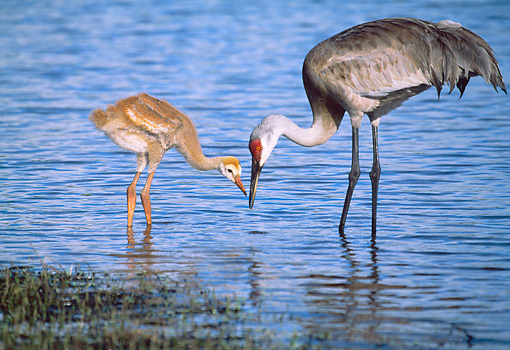 BRD 16 LS0002 01 © Kimball Stock Sandhill Crane Teaching Chick How To Hunt In Marsh Shallows