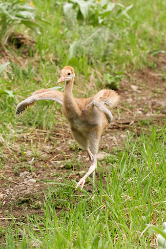 BRD 16 NE0002 01 © Kimball Stock Sandhill Crane Chick Walking In Field Flapping Wings