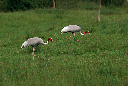 BRD 16 RK0004 08 © Kimball Stock Two Sarus Cranes On Green Field