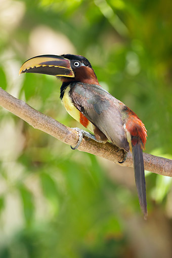 BRD 17 MC0005 01 © Kimball Stock Chestnut-Eared Aracari Feeding On Fruit In Tree Northern Pantanal, Brazil