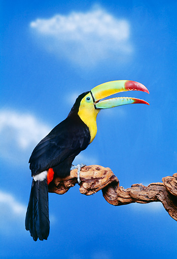 BRD 17 RK0001 01 © Kimball Stock Colorful Toucan Sitting On Branch Blue Sky Background