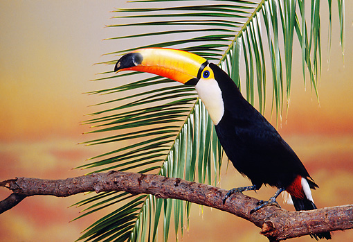 BRD 17 RK0003 04 © Kimball Stock Toucan Sitting On Branch By Leaf
