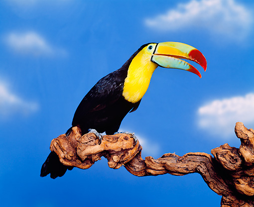 BRD 17 RK0005 06 © Kimball Stock Colorful Toucan Sitting On Branch