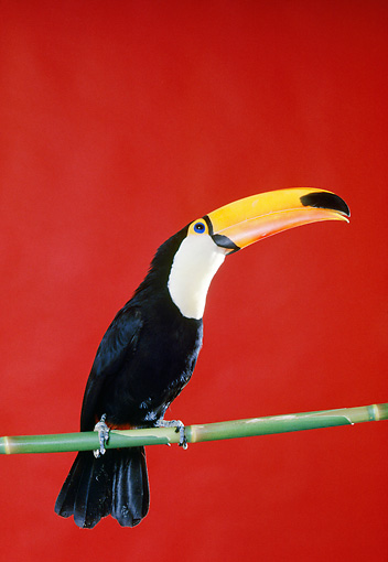 BRD 17 RK0012 05 © Kimball Stock Toucan Sitting On Pole