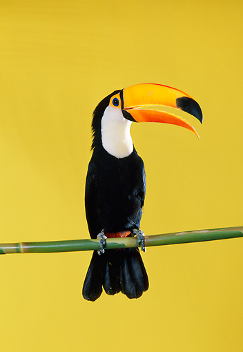 BRD 17 RK0017 10 © Kimball Stock Toucan Sitting On Pole