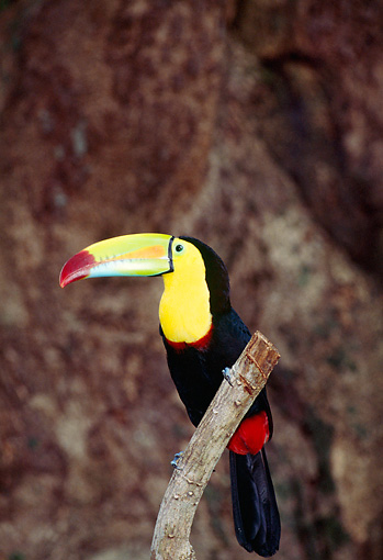 BRD 17 JM0001 01 © Kimball Stock Profile Of Keel-Billed Toucan Sitting On Branch