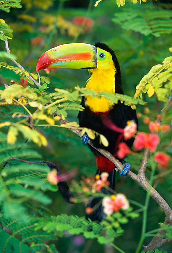 BRD 17 KH0001 01 © Kimball Stock Keel-Billed Toucan Perching On Branch