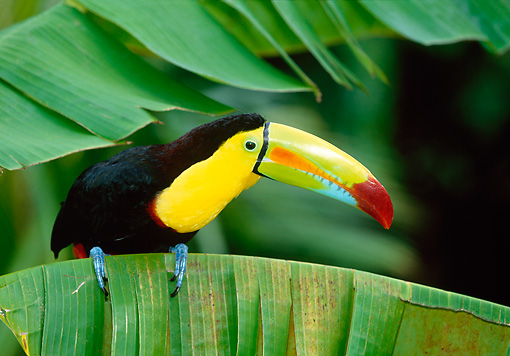 BRD 17 KH0002 01 © Kimball Stock Keel-Billed Toucan Perching On Leaf