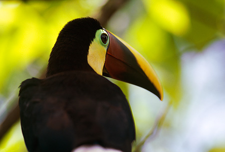 BRD 17 MR0002 01 © Kimball Stock Close Up Of Toucan In Tree Costa Rica Central America