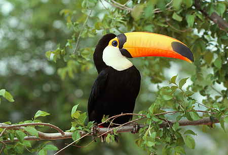 BRD 17 RK0023 01 © Kimball Stock Toucan Sitting On Branch In Tree