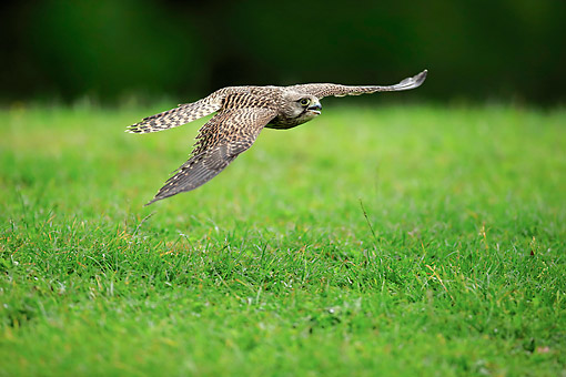 BRD 18 AC0012 01 © Kimball Stock Common Kestrel Female Flying Low In Germany