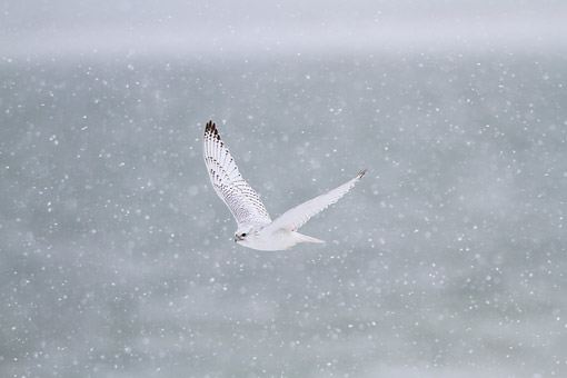 BRD 18 DA0001 01 © Kimball Stock Gyrfalcon In White Phase Flying In Snow