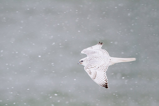 BRD 18 DA0002 01 © Kimball Stock Gyrfalcon In White Phase Flying In Snow