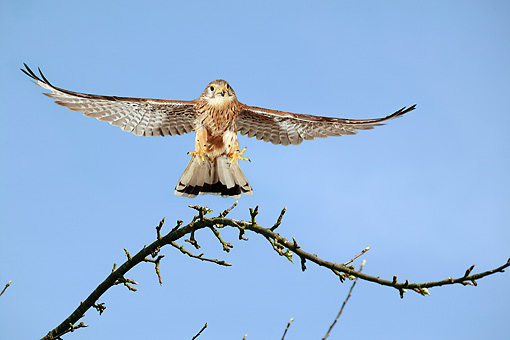 BRD 18 GL0002 01 © Kimball Stock Common Kestrel In Flight Against Blue Sky
