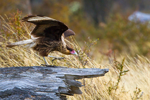 BRD 18 KH0003 01 © Kimball Stock Southern Caracara Taking Off From Log Tierra Del Fuego National Park, Argentina