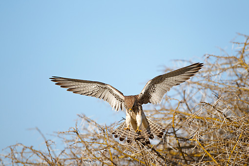 BRD 18 MC0004 01 © Kimball Stock Lesser Kestrel Flying Through Serengeti National Park, Tanzania