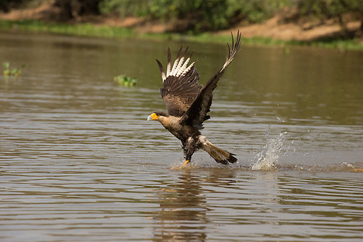 BRD 18 MC0009 01 © Kimball Stock Southern Caracara Splashing Into Water In Pantanal, Brazil