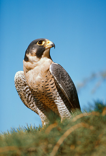 BRD 18 RK0008 01 © Kimball Stock Peregrine Falcon Sitting On Pine Tree Branch Blue Sky