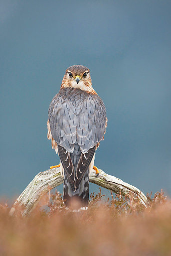 BRD 18 WF0005 01 © Kimball Stock Merlin Male Perched In Heather On Upland Moor