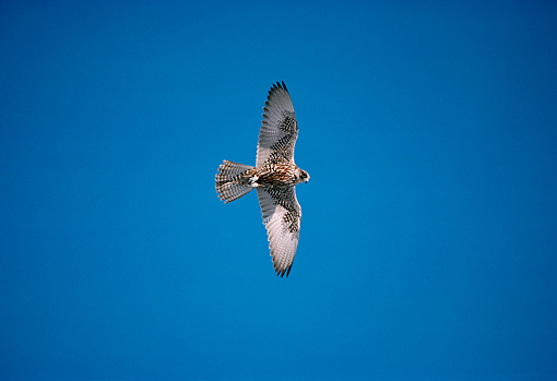 BRD 18 DB0002 01 © Kimball Stock Gyrfalcon Sitting Flying In Blue Sky