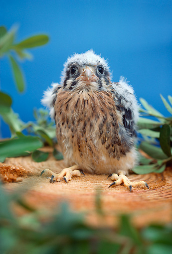 BRD 18 RC0001 01 © Kimball Stock Falcon Chick Sitting On Stump