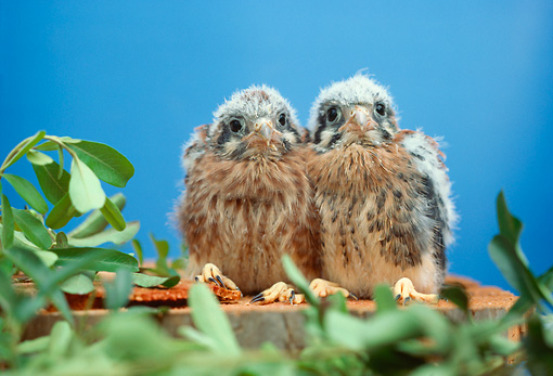 BRD 18 RC0002 01 © Kimball Stock Two Falcon Chicks Sitting On Stump