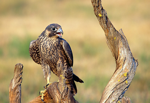 BRD 18 TK0001 01 © Kimball Stock Peregrine Falcon Perching On Tree Stump