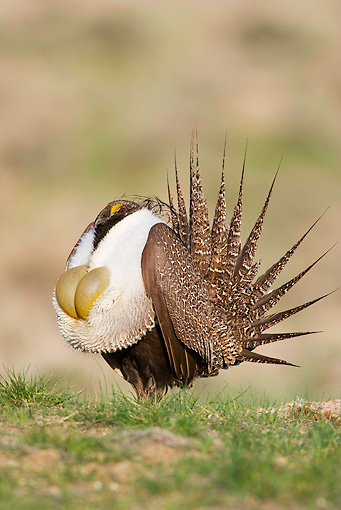 BRD 19 RF0002 01 © Kimball Stock Male Sage Grouse Standing In Field Doing Courting Display Puffing Up Chest