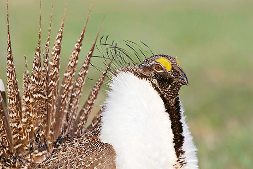 BRD 19 RF0008 01 © Kimball Stock Head Shot Of Male Sage Grouse Standing In Field Doing Courting Display