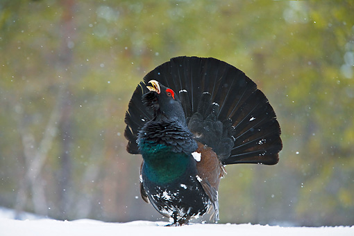 BRD 19 WF0001 01 © Kimball Stock Male Capercaillie Displaying Tail Feathers On Snow