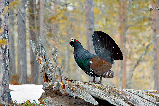 BRD 19 WF0002 01 © Kimball Stock Male Capercaillie Standing On Log Displaying Tail Feathers