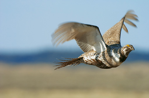BRD 19 NE0001 01 © Kimball Stock Greater Sage Grouse Flying