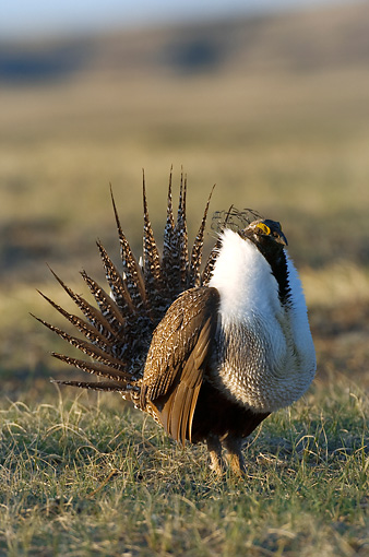 BRD 19 NE0003 01 © Kimball Stock Male Greater Sage Grouse Standing In Field Doing Courting Display