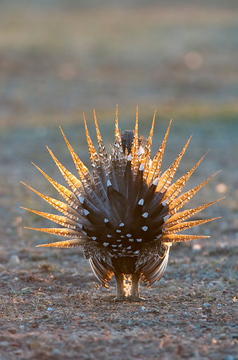 BRD 19 NE0004 01 © Kimball Stock Male Greater Sage Grouse Standing In Field Doing Courting Display Rear