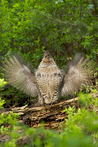 BRD 19 NE0006 01 © Kimball Stock Ruffed Grouse Standing On Log Flapping Wings
