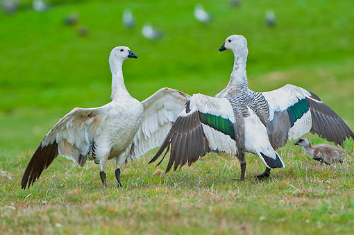BRD 20 AC0012 01 © Kimball Stock Upland Goose (Or Magellan Goose) Pair Dancing With Chick