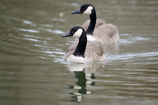 BRD 20 AC0016 01 © Kimball Stock Canada Geese Swimming In Germany