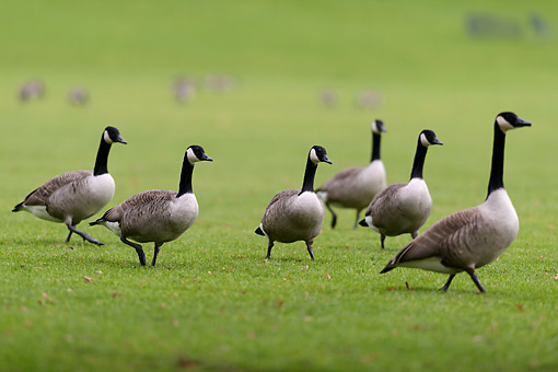 BRD 20 AC0018 01 © Kimball Stock Canada Geese Walking On Grass In Germany
