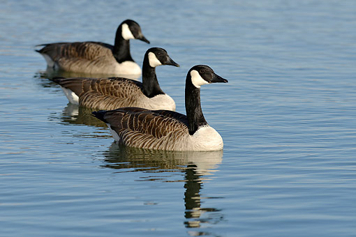 BRD 20 AC0019 01 © Kimball Stock Canada Geese Swimming Germany