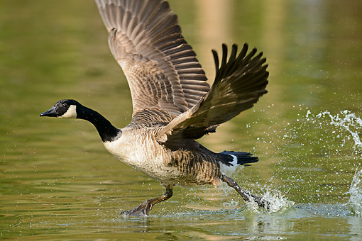 BRD 20 AC0020 01 © Kimball Stock Canada Goose Splashing In Water
